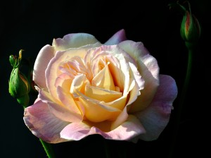 DSC_0036 nora's rose